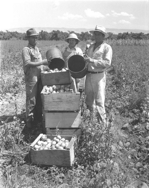 Tomato harvesters, Braceros in Oregon Photograph Collection