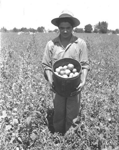 Worker with tomatoes, Braceros in Oregon Photograph Collection