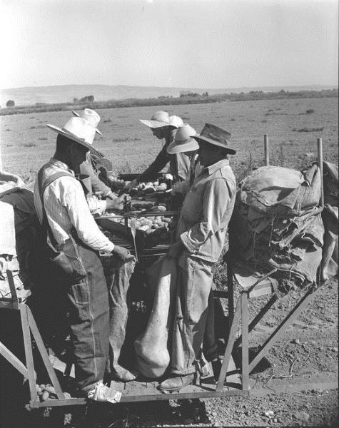 Sacking harvested potatoes, Braceros in Oregon Photograph Collection
