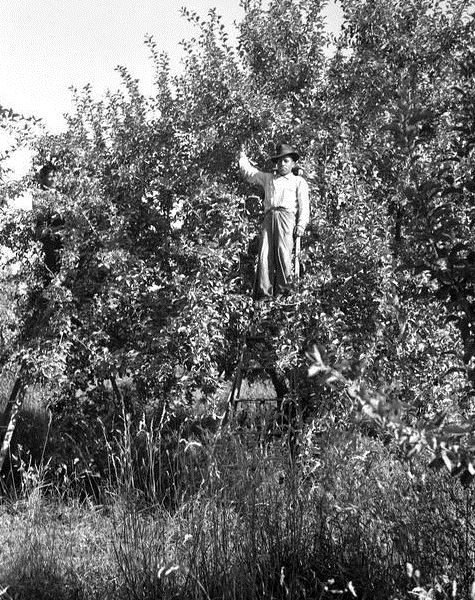 Thinning apple trees, Braceros in Oregon Photograph Collection