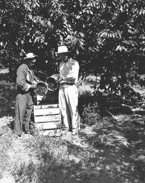 Picking cherries, Braceros in Oregon Photograph Collection