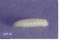 Delia radicum (Cabbage maggot)