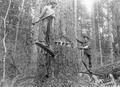 Two loggers with springboards pounding wedges into tree