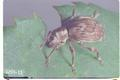 Sciopithes obscurus (Obscure root weevil)