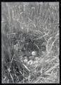 Sharp-tailed grouse nest