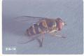Syrphus opinator (Flower fly)