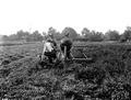 Harvesting a field of mint, Columbia County