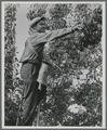 Pear picker near Medford, Oregon