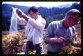 Fred Hagelstein and Robert Every releasing cinnabar moth on tansy ragwort, Oregon, circa 1965