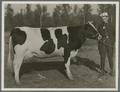 John Fleming with Holstein cow