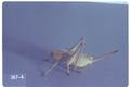 Anabrus longipes (Shieldbacked grasshopper / Shieldbacked cricket)