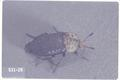 Silpha lapponica (Carrion beetle)