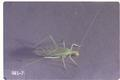 Oecanthus niveus (Tree cricket)