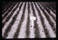 Blue mustard in wheat plot with 1.6 lb/acre linuron application, circa 1965
