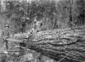 Three loggers with downed tree and bucking saws