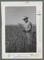 Man inspecting Moro wheat field