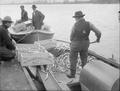 Men shoveling smelt from boat bottoms into boxes at Columbia River Smelt Co., Kelso, WA