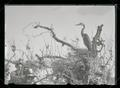 Great blue heron chick in nest