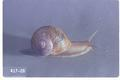 Helix aspersa (Brown garden snail)