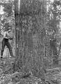 Two men on springboards with saw felling tree